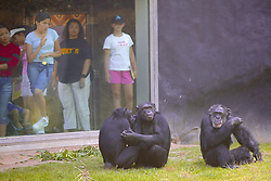 Zoo Visitors Observing Chimpanzees, Los Angeles Zoo