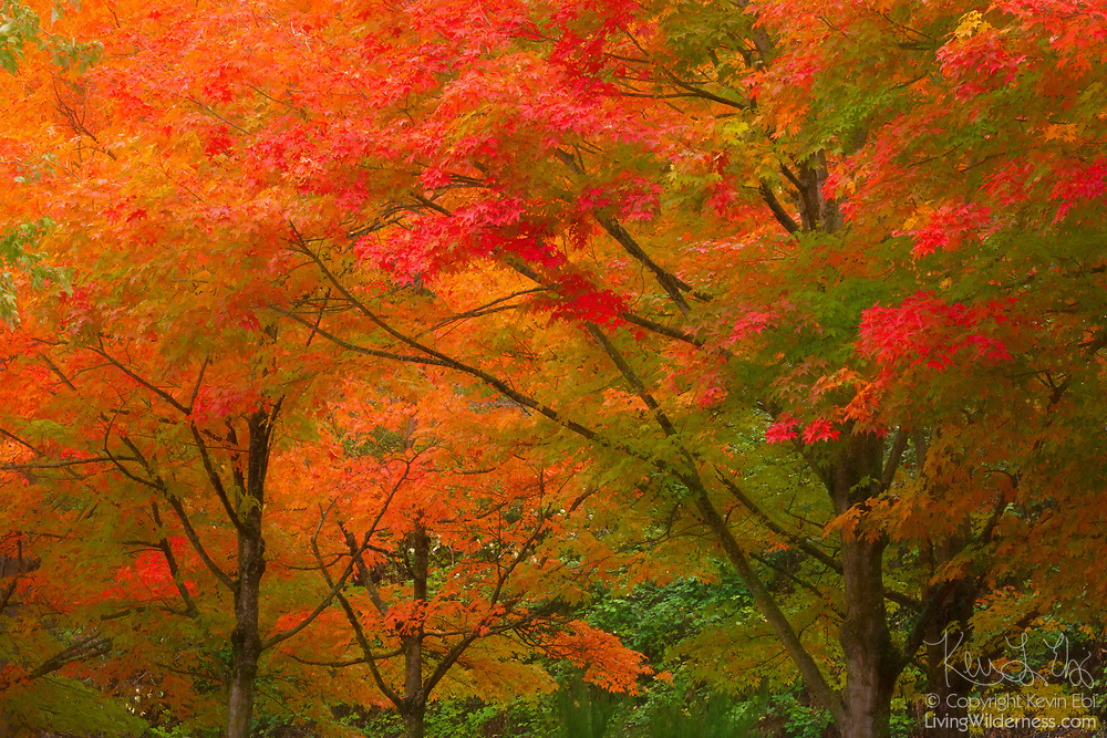 In early autumn, the maple trees of Gene Coulon Memorial Beach Park in Renton, Washington, display the full assortment of fall colors.