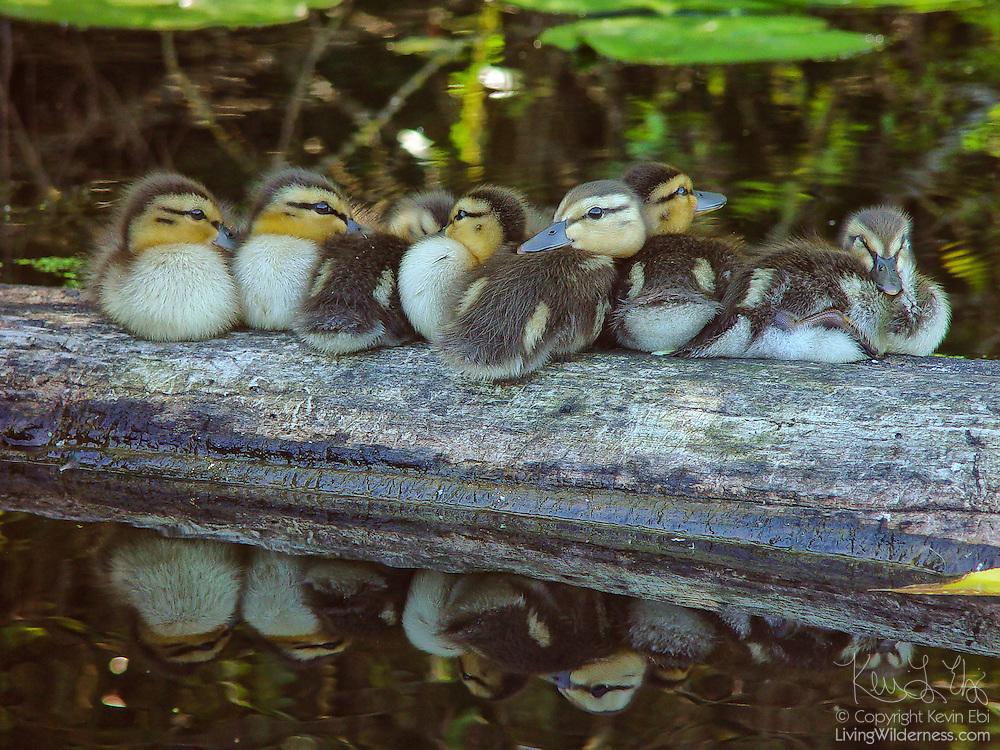 Seven mallard ducklings (Anas platyrhynchos) rest on a log in the wetlands of the Washington Park Arboretum, Seattle, Washington.