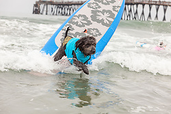 July 29, 2017 - Imperial Beach, CA, US - Surfdog returns to Imperial Beach for the twelfth  year...Brody the double doodle gets a good wave. (Credit Image: © Daren Fentiman via ZUMA Wire)