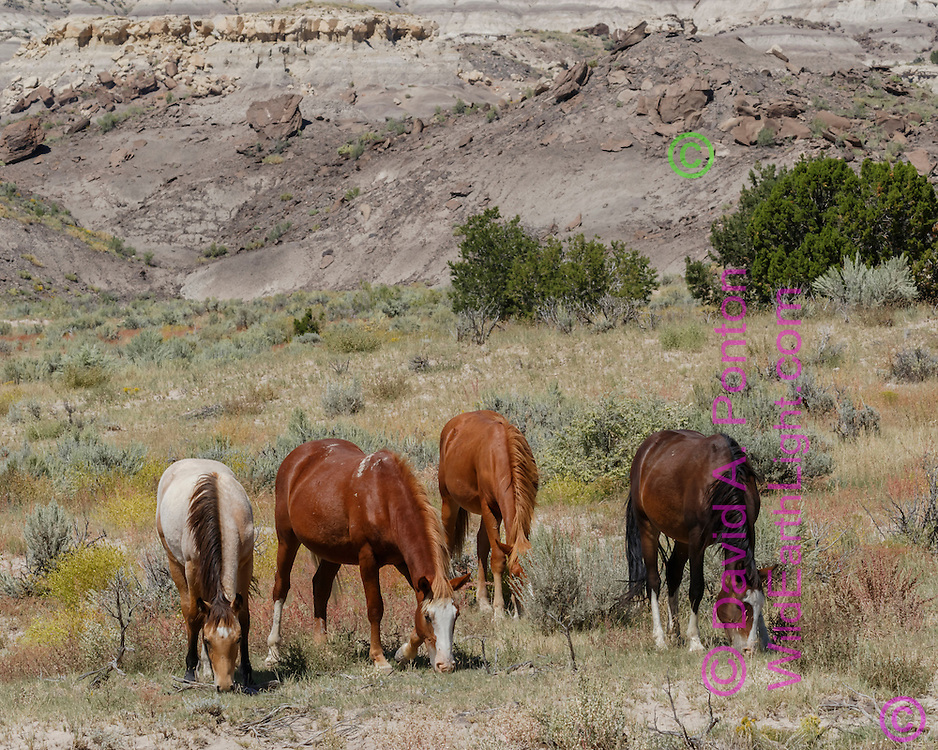 Free-ranging horses graze in sage-juniper grassland surrounded by badlands in north-western New Mexico, © David A. Ponton