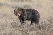 Grizzly bear (Ursus arctos horribilus) in habitat