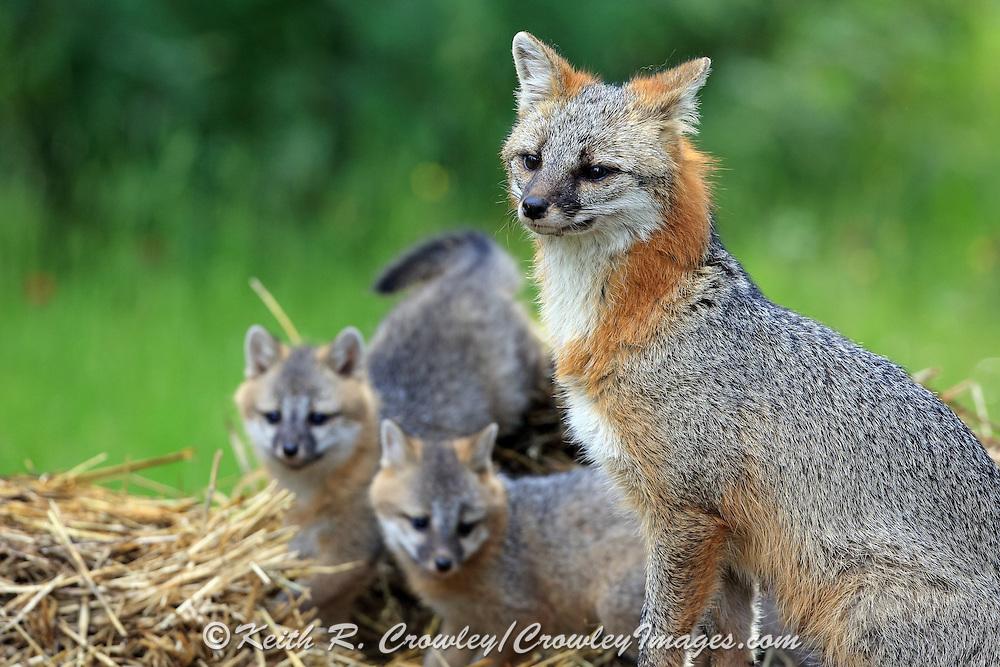 Gray Fox with pups in Habitat