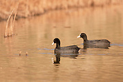 Eurasian Coot (Fulica atra) couple Photographed in Israel in February