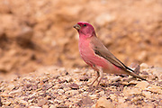 Sinai Rosefinch (Carpodacus synoicus) male on the ground, negev desert, israel in November