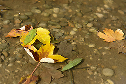 Autumn leaves floating on puddle yellow brown