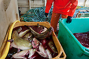 Part of the bounty from a day's work by Icelandic cod fisherman Karol Karelsson and his colleagues, who work on a boat near the small port of Sandgerdi on the western side of Reykjanes peninsula, Iceland. (Karol Karelsson is featured in the book What I Eat: Around the World in 80 Diets.) Although their craft is small, their large nets are mechanized. They monitor the casting then drink coffee and eat bread and fruit in the boat's galley until it's time to  haul in the bounty. They clean the fish in the belly of the ship, toss the guts, and then, after repeating this cycle many times for 8 hours, head for port. Karol takes a fish or two home each day, along with his pay.