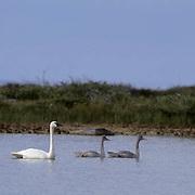 Tundra Swan (Cygnus columbianus) adult with cygnets on a  pond in Churchill, Manitoba, Canada.