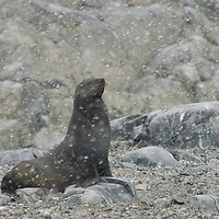 A Southern Fur Seal endures a snowstorm on Booth  Island, Antarctica.