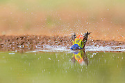 Painted bunting male taking a bath