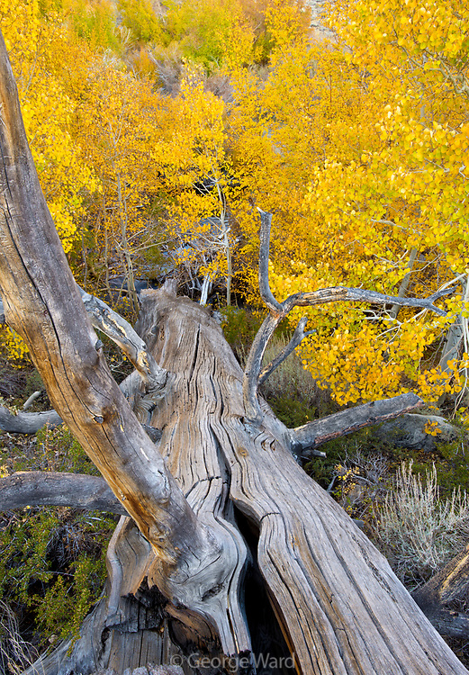 Jeffrey Pine Snag and Aspen in Fall,Inyo National Forest,Mono County, Caifornia