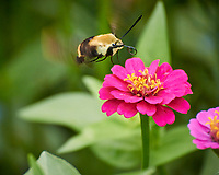 Snowberry Clearwing Moth (Hemaris diffinis) feeding on a pink Zinnia flower. Image taken with a Nikon 1 V3 camera and 70-300 mm VR lens