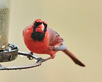 Northern Cardinal (Cardinalis cardinalis). Image taken with a Nikon D850 camera and 500 mm f/4 VR lens.