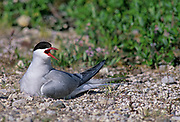 Arctic Tern (Sterna Paradisaea) on nest<br />
