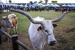 Boi Franqueiro na 38ª Expointer, que ocorre entre 29 de agosto e 06 de setembro de 2015 no Parque de Exposições Assis Brasil, em Esteio. FOTO: Pedro H. Tesch/ Agência Preview