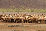 A herd of Dromedary or Arabian Camels (Camelus dromedarius) walking in the desert. Photographed in the Negev Desert, Israel