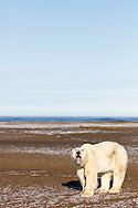 Polar bear (Ursus maritimus) yawning on spit on Barter Island near Kaktovik in Arctic National Wildlife Refuge in the Far North of Alaska. Autumn. Morning.