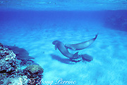 dugong or sea cow, Endangered Species, Dugong dugon, male rakes back of another male with tusks in apparent dominance display, Vanuatu, South Pacific Ocean, Indo-Pacific