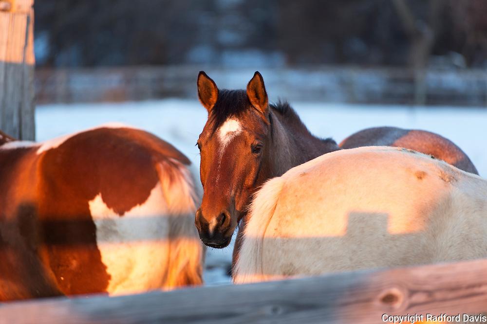 Horses in winter, near Ledges State Park, Iowa