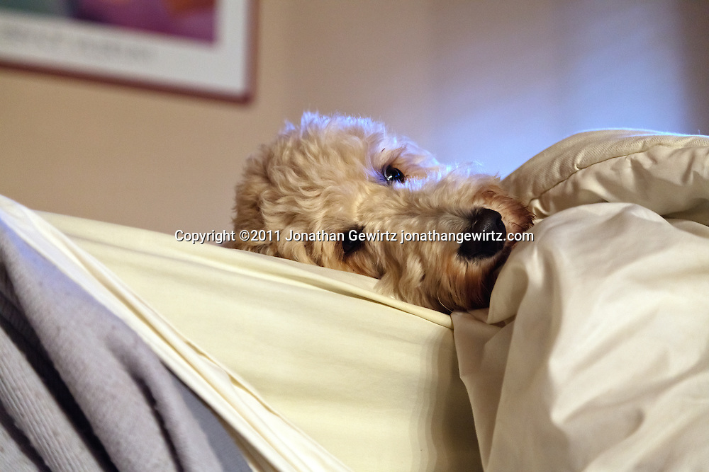 A shaggy goldendoodle dog lies in bed with only its head outside of the covers. WATERMARKS WILL NOT APPEAR ON PRINTS OR LICENSED IMAGES.