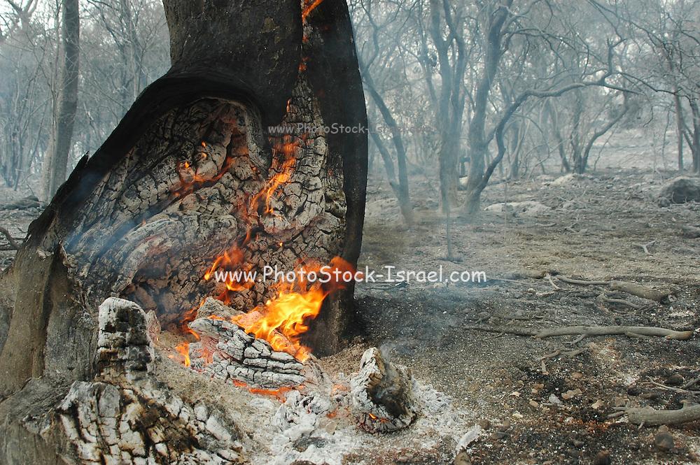 Israel, Haifa Carmel Mountain Forest, A fire smouldering in a tree trunk