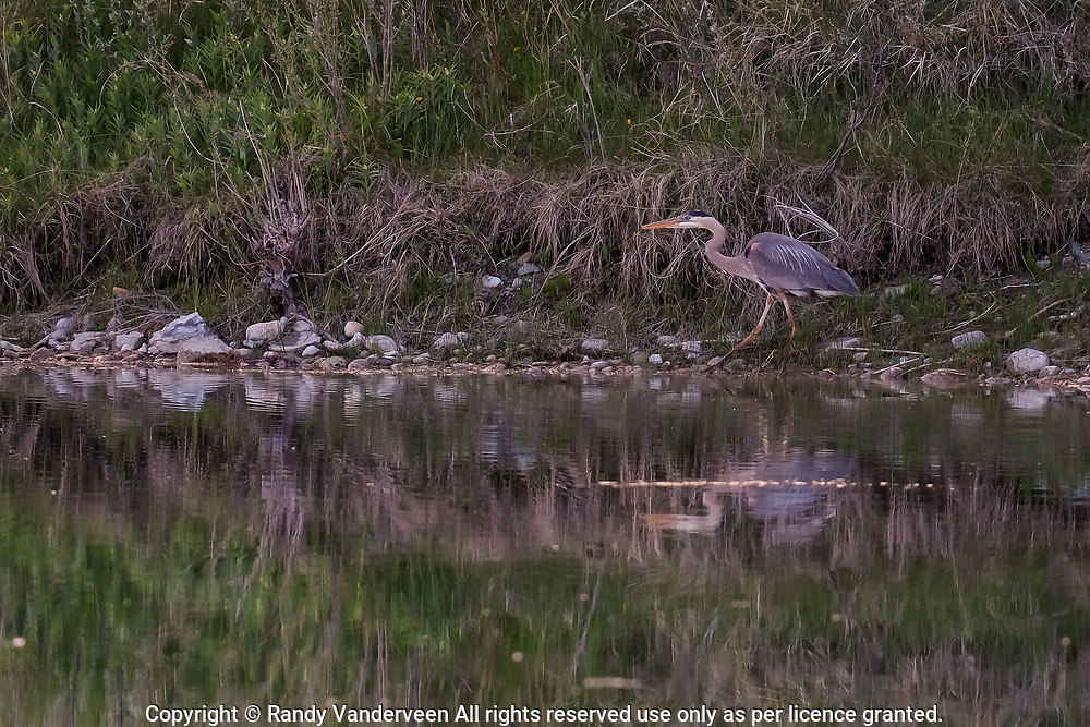 Photo Randy Vanderveen<br /> 2019-05-30,<br /> St. Mary Reservoir Provincial Recreation Area, Alberta<br /> A great blue heron patiently stalks prey as it wades along the shore near the St. Mary Lower Campground southwest of Lethbridge.  A dead end loop of the St Mary River in the lower campground provides plenty of wildlife habitat for campers and day use patrons to see.