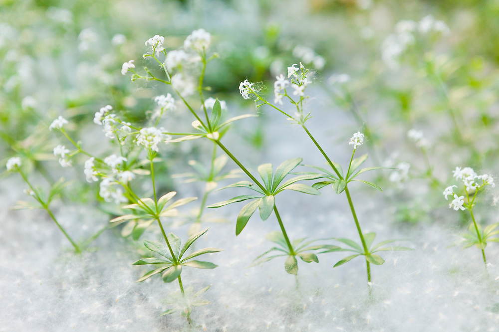"""Small white flowers growing from a bed of cottonwood """"cotton"""" (seeds and seed hairs) in Boulder, Colorado."""