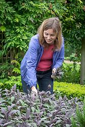 Harvesting Salvia officinalis 'Purpurascens' syn. Salvia officinalis 'Purpurea' - Purple sage