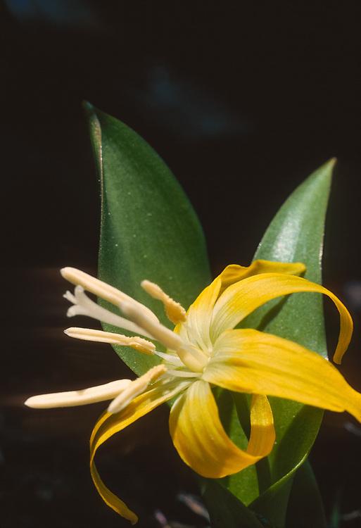 Glacier lily wildflower (Erythronium grandiflorum), Paicific Northwest, USA