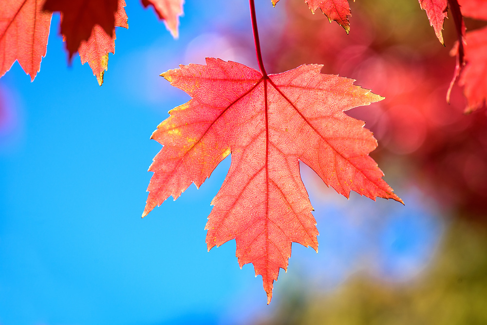 Red maple leaves in Yamaguchi Park, Pagosa Springs, Colorado
