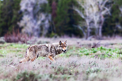 """Yellowstone wolf on the prowl, alpha female of the Pacific Creek Pack of Grand Teton National Park.<br /> <br /> Read Story: """"Hungry Wolves""""<br /> http://www.the-hole-picture.com/articles/Hungry-Wolves.html"""