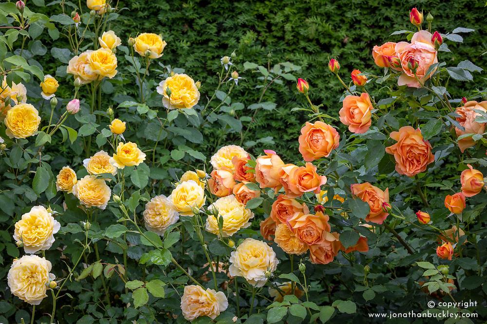 Rosa 'Lady of Shalott' and 'Molineux'