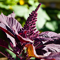 Red leaf Amaranth