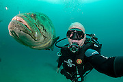 Photographer Michael Patrick O'Neill and Goliath Grouper, Epinephelus itajara, near the Mispah shipwreck offshore Singer Island, Florida, United States. Fish with spawning coloration.
