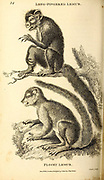 Long-fingered and flocky Lemurs from General zoology, or, Systematic natural history Part I, by Shaw, George, 1751-1813; Stephens, James Francis, 1792-1853; Heath, Charles, 1785-1848, engraver; Griffith, Mrs., engraver; Chappelow. Copperplate Printed in London in 1800. Probably the artists never saw a live specimen
