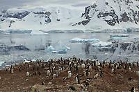 Gentoo Penguin (Pygoscelis papua) breeding colony on Danko Island, Antarctic Peninsula.