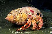 stareye hermit crab, Dardanus venosus,<br /> with symbiotic anemones, Calliactis tricolor,<br /> Sugar Wreck off Grand Bahama,<br /> Little Bahama Bank ( Western Atlantic Ocean )