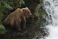 A coastal brown bear, fat and happy from feasting on salmon, awaits another easy catch at Brooks Falls, Katmai National Park.
