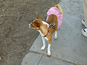 a little dog dressed up with a pink skirt