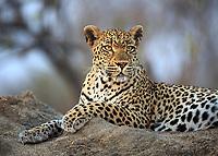 Leopard, Panthera pardus, portrait while resting on a termite mound.