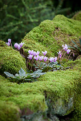 Cyclamen hederifolium (ivy-leaved cyclamen) growing on the top of a moss covered wall