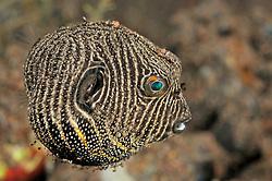 Arothron stellatus, juvenil,  Riesen-Kugelfisch, winziges Jungtier, Star Puffer, young, juvenile,  Tulamben, Bali, Indonesien, Indopazifik, Indonesia, Asien, Indo-Pacific Ocean, Asia