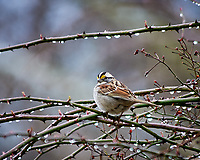 White-throated Sparrow. Image taken with a Nikon D300 camera and 80-400 mm VR lens (ISO 500, 400 mm, f/5.6, 1/250 sec).