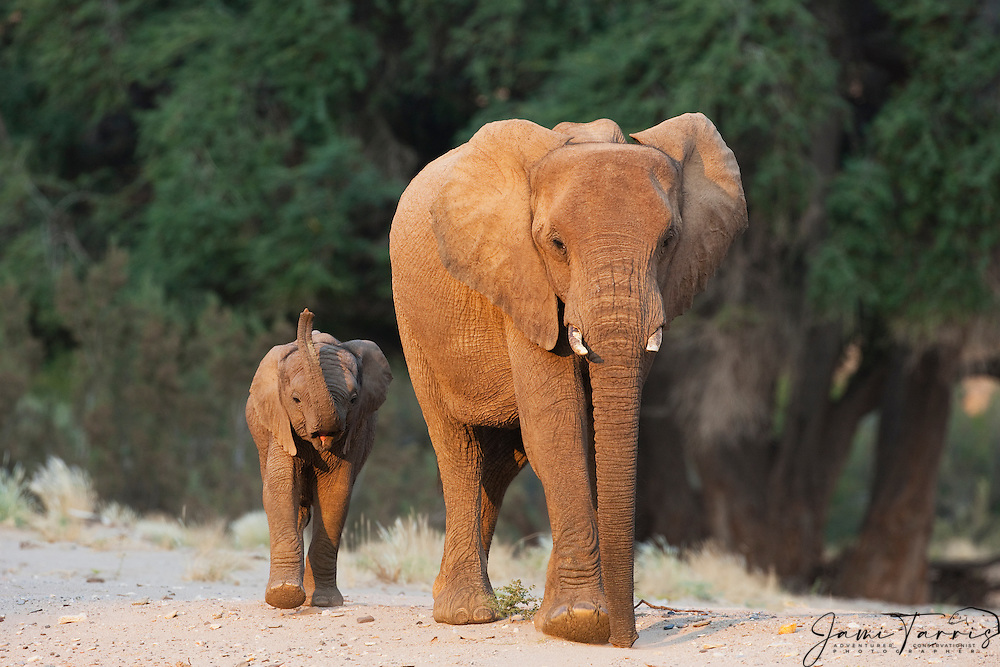 Desert-adapted elephant calf walking with its mother (Loxodonta africana) , Skeleton Coast, Namibia,Africa