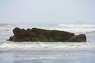 Rock with sea life exposed at low tide - Ruby Beach - Olympic National Park, WA