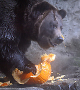 """Woodland Park Zoo grizzly """"Keema"""" tears apart a pumpkin in his grotto. Keema and his twin brother """"Denali"""" were brought to the zoo in 1994 as baby cubs.  They are now 16 and weigh between 600 to 800 pounds. <br /> Greg Gilbert / The Seattle Times"""