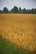 Golden oat fields in gray day after rain with old and abandoned farm building in back, near Mētriena, Vidzeme, Latvia Ⓒ Davis Ulands   davisulands.com