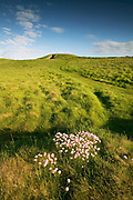 Covered Neolithic burial chamber of Barclodiad y Gawres forming one side of Porth Trecastell cove, West Anglesey, North Wales. Sea Pink (Thrift) grows in the foreground.