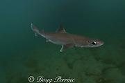 shortnose spurdog, piked spurdog, spiny spurdog, shortnose spiny dogfish, or dogshark, Squalus megalops, Victoria, Australia