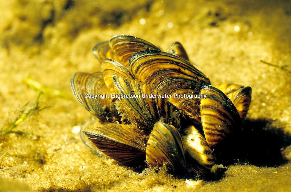 Zebra Mussels<br /> <br /> ENGBRETSON UNDERWATER PHOTO
